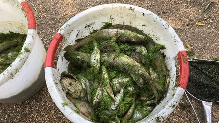 Dead fish collected from lake at Clare Country Park