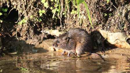 Water Voles could also be struggling as their river habitats dry up.
