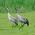 Common crane have become a regular sight at Lakenheath Fen RSPB reserve in recent years