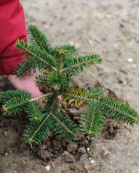 Wrentham Christmas tree farm preparing the trees for next Christmas. Trevor Oram with a young tree