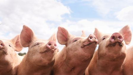 Pigs are feeling the heat, says expert Peter Crichton Picture: LUCY TAYLOR