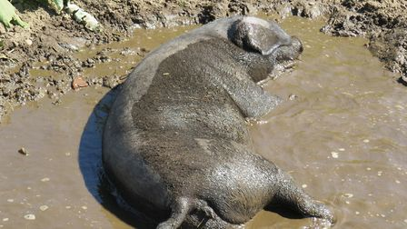 A pig wallowing Picture: ALISON BALAAM