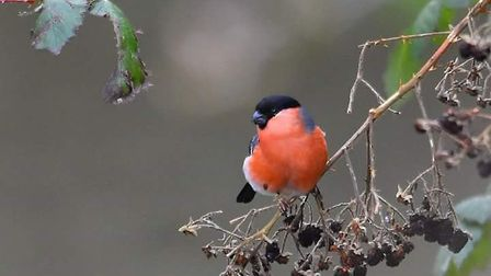 A bullfinch. Picture: RON SMITH