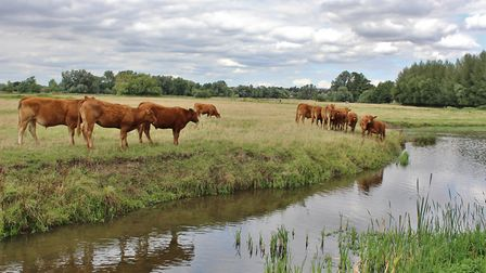 Cattle on the water meadow Picture: PETER BASH