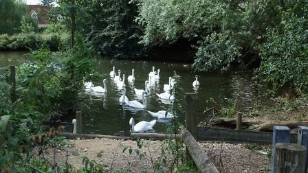 Swans on the Stour Picture: PETER WILES