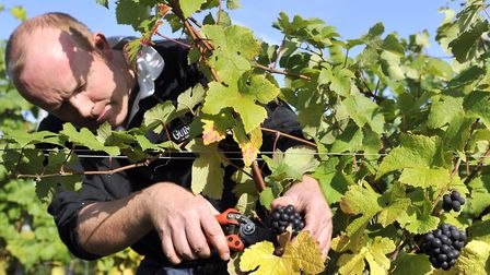Angus Crowther picks Pinot Meunier grapes at Tuffon Hall in Sible Hedingham Picture: SU ANDERSON
