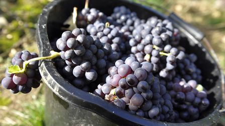 Pinot Meunier grapes harvested at Tuffon Hall in Sible Hedingham Picture: SU ANDERSON