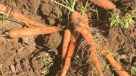 The carrot crop, parts of which were severely hit by the heatwave, despite efforts to keep it suffic