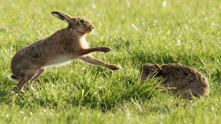 Hare coursing is one of the biggest issues in rural crime in Suffolk Picture: FRANCES CRICKMORE