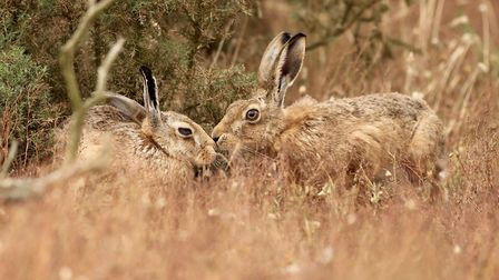 Hares on Havergate Island Picture: Frances Crickmore