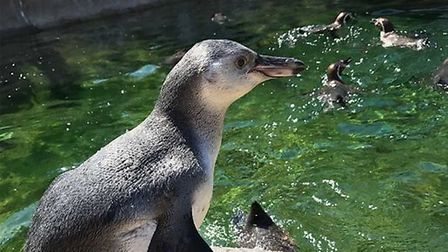 Watch the cute baby penguin chick going for a swim Picture: COLCHESTER ZOO