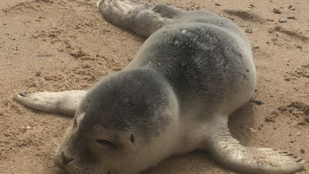 The tiny seal was rescued from Jaywick Sands beach Picture: YANA HUMPHREYS/TENDRING DISTRICT COUNCIL