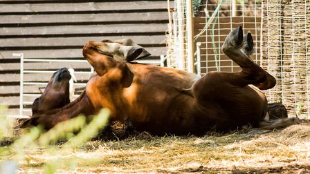 Horse rolling in the warm Picture: FRANCES CRICKMORE