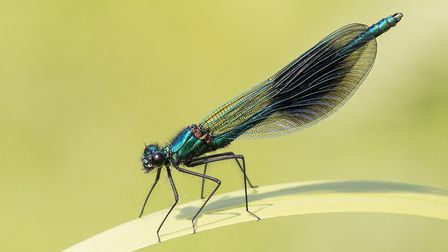 Brian Lomax's Banded Demoiselle features in the exhibition Photo: BRIAN LOMAX