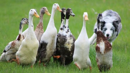 The Dog and Duck Show will be one of the attractions at this year's Grand Henham Steam Rally Picture