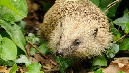 Hedgehog numbers have been on a decline in both rural and urban areas Picture: ALAN BALDRY