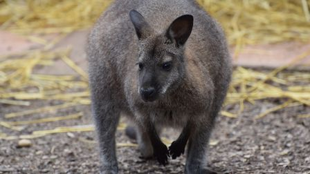 There have been sightings of wallabies in the wild in recent months Picture: ANDREW MUTIMER