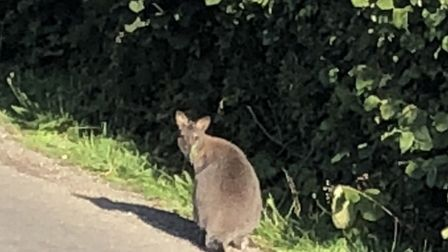 Henk Kuhlman spotted this wallaby in Foxearth Picture: HENK KUHLMAN