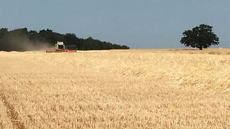 A combine harvester at work on the Euston Estate Picture: ANDREW BLENKIRON