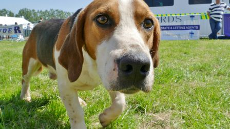 Beagle at the 2018 Hadleigh May show. Picture: PETER CUTTS