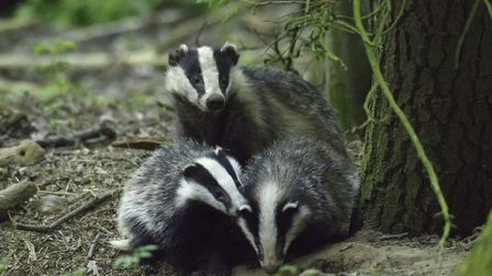 Badger with cubs Picture; Adrian Hinchcliffe