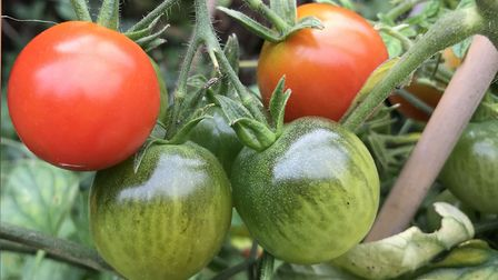 Red and green tomatoes. Picture: Hannah Stephenson/PA.