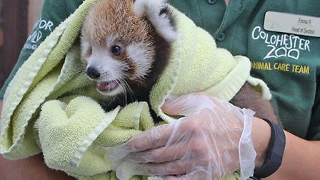 The unamed red panda cub is now venturing out of hits nestand has been identified as female as femal