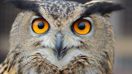 An owl at Fritton Owl Sanctuary. Picture: James Bass