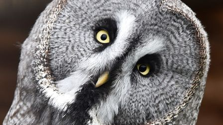 An owl at Fritton Owl Sanctuary. Picture: SONYA DUNCAN