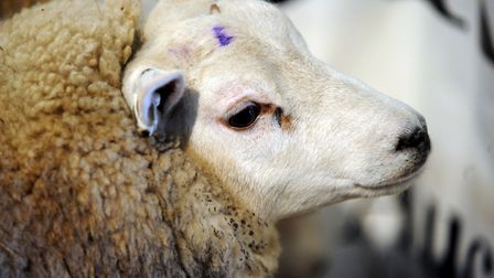 More than 60 sheep have been stolen from Lindsey near Hadleigh in Suffolk Picture: ANDREW PARTRIDGE