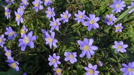 Uf Anemone 'Royal Blue'. Picture: Broadleigh Bulbs/PA.