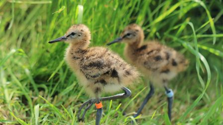 Two young black- tailed godwit chicks inside the rearing aviary Picture: Georgette Taylor/RSPB