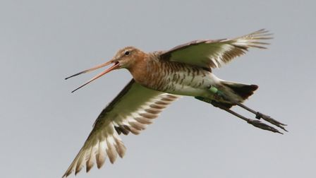 Earith at RSPB Ouse Washes, the first headstarted bired to breed successfully Picture: Jonathan Tay