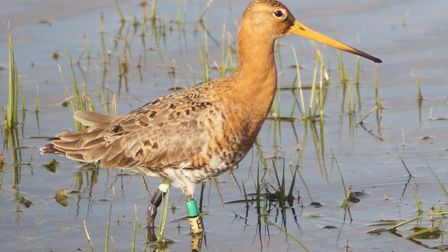 Manea - one of the black-tailed godwits released in 2017 was back in the Fens in 2018 Picture: Jonat
