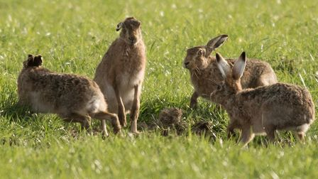 Hares in the Suffolk countryside Picture: FRANCES CRICKMORE/CITIZENSIDE.COM