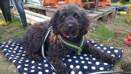 Nancy is a six-year-old Labradoodle. Picture: RACHEL EDGE