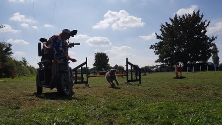 Dodger in action on the agility course. Picture: RACHEL EDGE