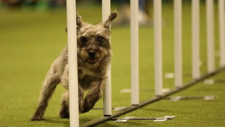 The infamous weave poles of dog agility courses being tackled by Dodger, now the World Champion in J