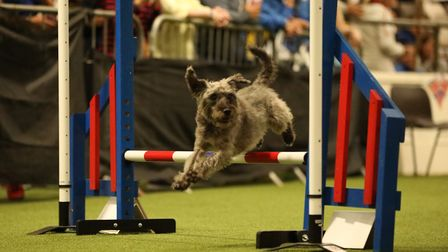 Dodger leaping over a hurdle on the agility course. Picture: TONY PUTMAN