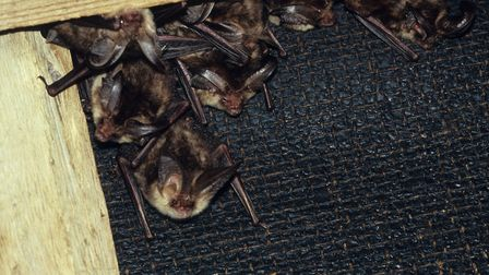 Brown long eared bats in a summer roost in loft Pic: David Hosking / Alamy Stock Photo