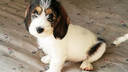 Clover is one of hundreds of puppies of he breed that will now be able to grow up with no risk of bl
