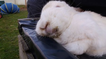 One of the rabbits found on a smallholding operated by Matthew Lowe near Sudbury. The rabbit was lat