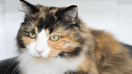 Mindy is a 7 year old Norwegian forest cross cat looking for a home Picture: SARAH LUCY BROWN