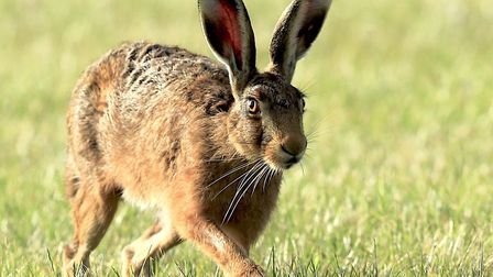 A number of people have contacted Suffolk and Norfolk Wildlife Trusts about sick and dying hares P