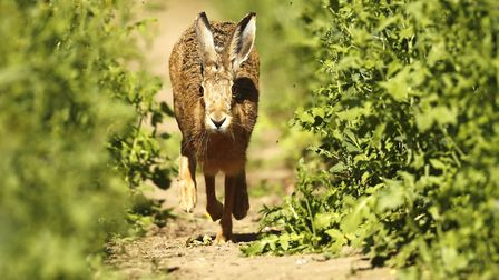 While East Anglia is a stronghold for the hare, nationwide its population has plummeted 80% over the