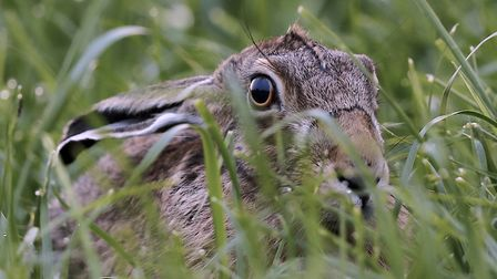 Intensive farming practices and illegal hare coursing are believed to be two reasons why hare numbes