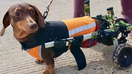Dachshunds affected by IVDD may suffer mobility problems Picture: #SOUTHWOLDSAUSAGEWALK
