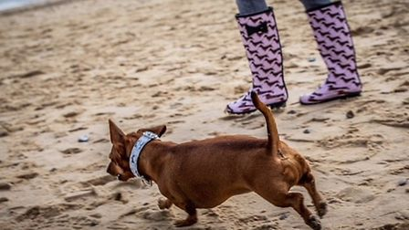Hundreds of dogs from across the country took part in the event Picture: #SOUTHWOLDSAUSAGEWALK
