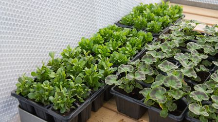 Young plants protected by bubble wrap insulation in a greenhouse. . Picture: Thinkstock/PA.
