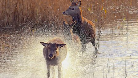 Deer walking through the water at Minsmere Picture: FRANCES CRICKMORE